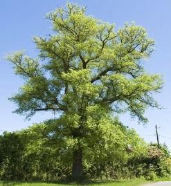 elm-tree